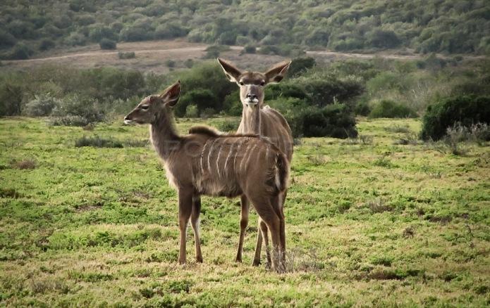 African Safari Kudus