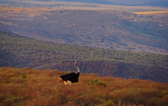 African Safari Ostrich