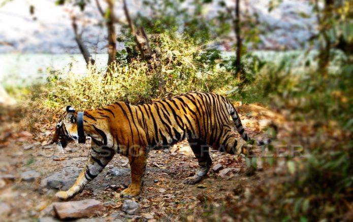 Indian Safari Tiger
