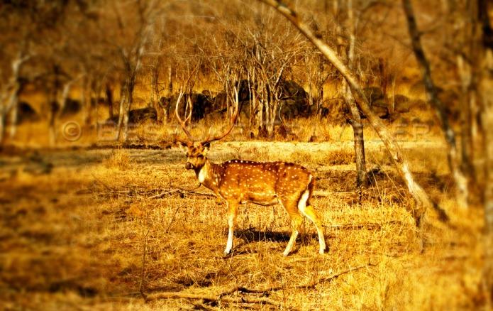 Indian Safari Deer