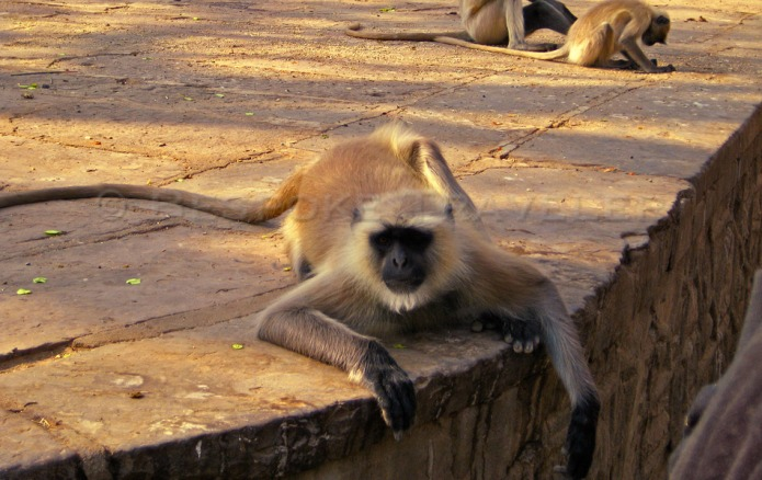 Indian Safari Monkey