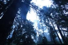 Big Sur Forest