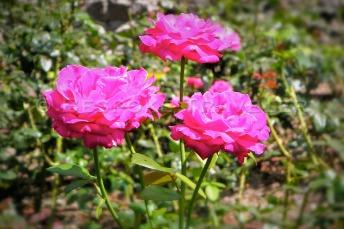 Rose Garden Ephrussi