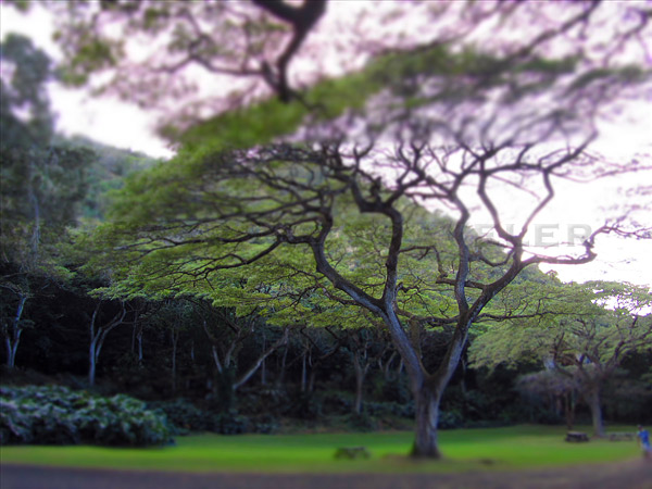Hawaii tree