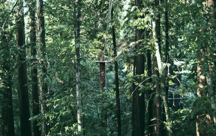 zip-line redwoods