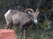Zion-animal