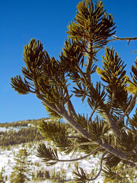 snowshoe-branch