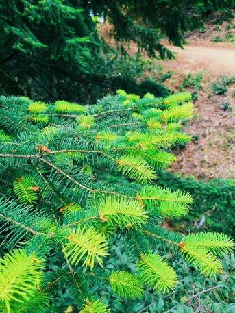 Spring-evergreen