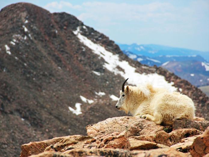 Mt-Evans-goat