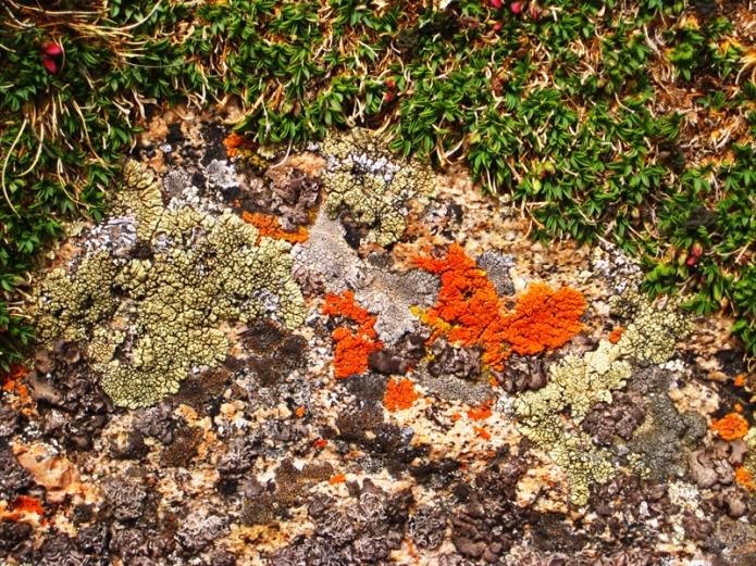 Mt-Evans-lichen