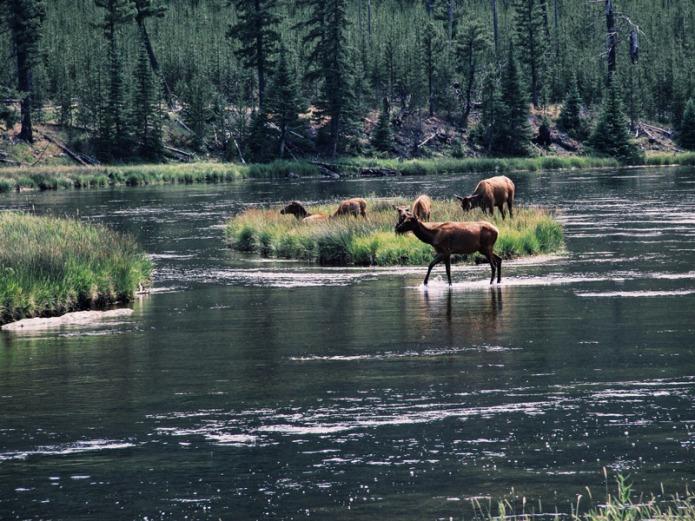 Yellowstone-deer