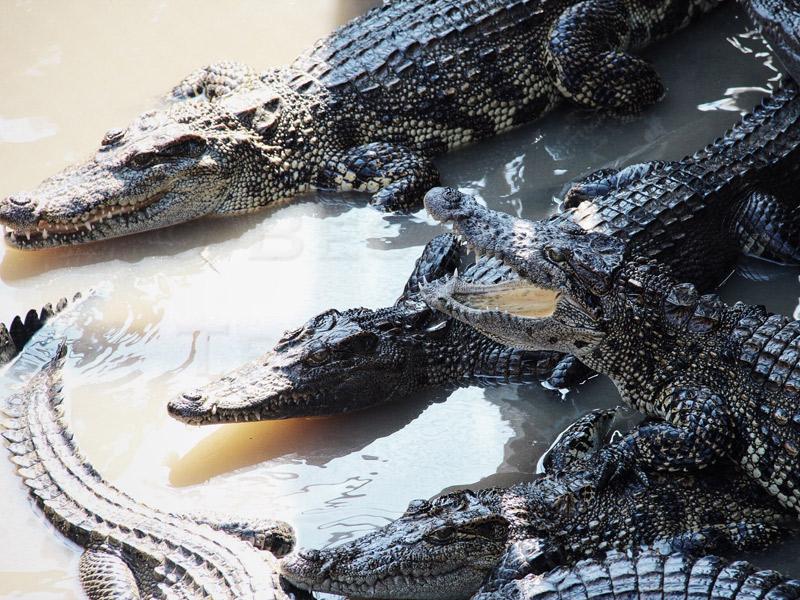 Tonle-Sap-crocodiles