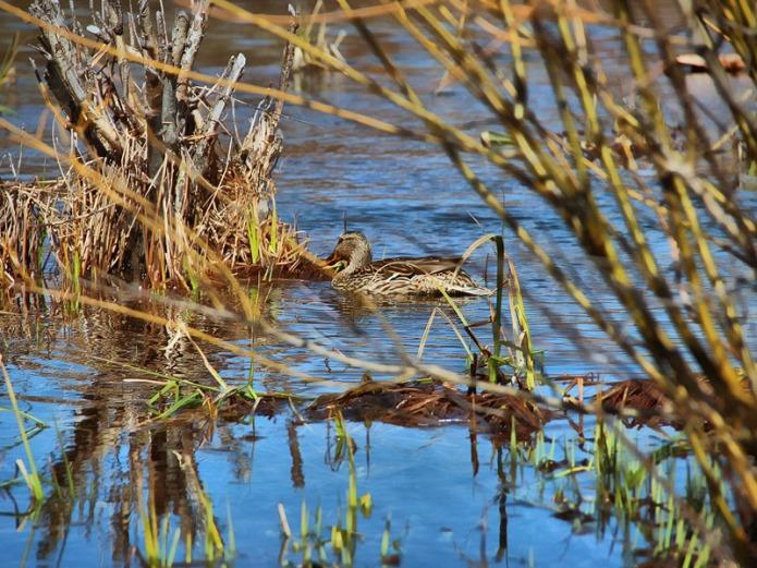 Lake-Tahoe-duck-BT