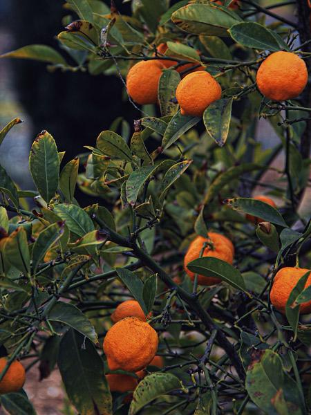 Garden-orange-BT