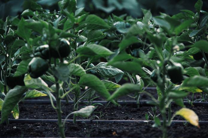 Garden-pepper-BT