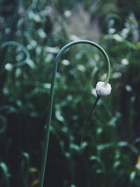 Garden-stem-BT