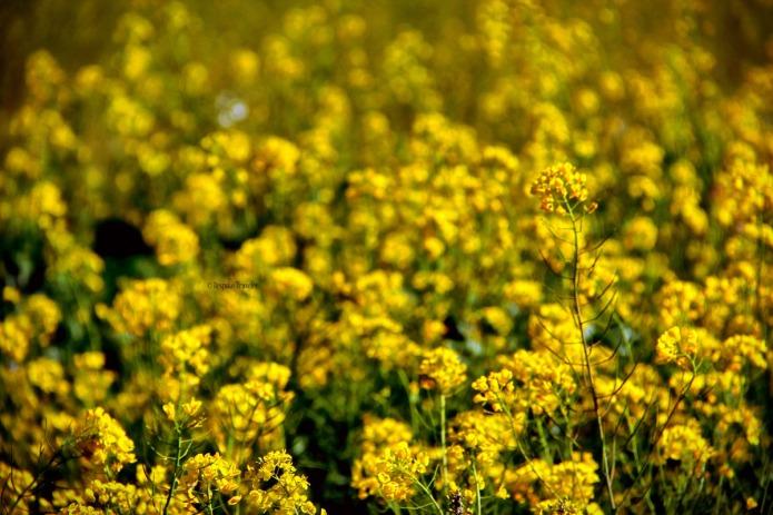 Garden-yellow-BT