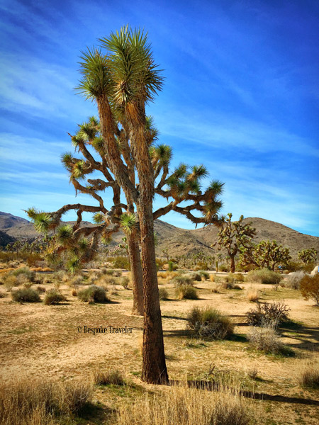 JoshuaTree-line-BT