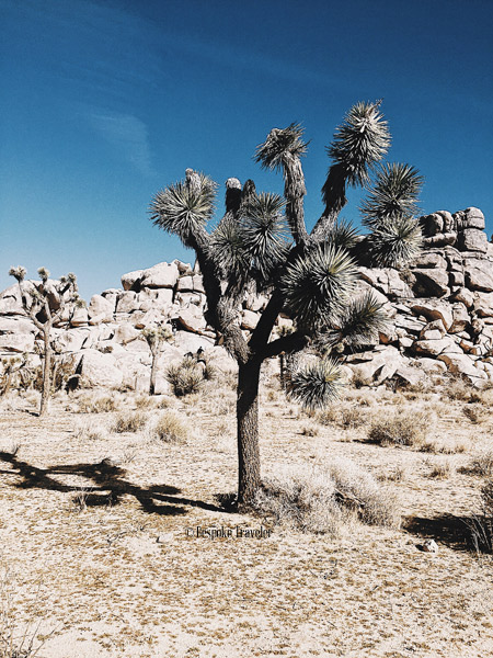JoshuaTree-scene-BT