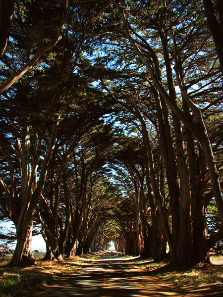 Pt-Reyes-cypress-BT